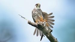 새홀리기 혹은 새호리기 #2 Eurasian hobby