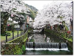 [교토] 벛꽃길이 환상적이었던 키노사키온천 니시무라야 혼칸에서 나를 반기는 아름다운 처녀, 城崎温泉 西村屋