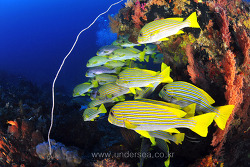 Sweetlips in Raja Ampat, Indonesia