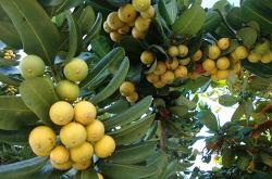 Belem의 과일들