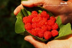 추억의 먹거리-산딸기