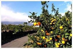 Jeju travel Mr.Dee / History of Jeju tangerine; from suffering to hope / Jeju travel