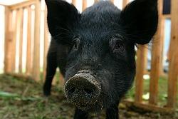 오키나와 토종 돼지 '아구(あぐー)'를 아시나요?