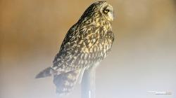 쇠부엉이의 이륙직전의 모습 Short-eared owl