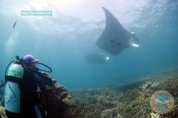 마이크로네시아 야프섬의 MANTA RAY - 만타를 보기 전에 알면 좋은 정보