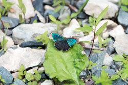 산녹색부전나비