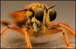 니콘 D7100  - Robberfly super macro photo