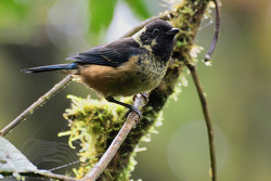 Spangle-cheeked Tanager, 13cm [Endemic to CR and western Panama]