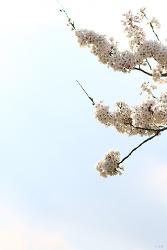 삼척 맹방 벚꽃