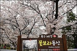 (대구 북구 ) 도청교-경대교 꽃보라동산 벚꽃