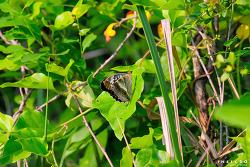 암검은표범나비(♀)