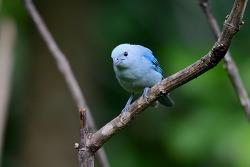 Blue-grey Tanager, 15cm