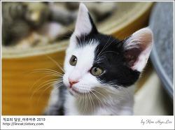 [적묘의 고양이]4월 5일생,아기고양이,대팔이,젖소아깽이.여아추정,캣초딩들,입양하세요,집사급구,입양홍보