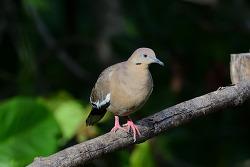 White-winged Dove, 28cm