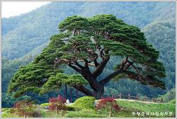 강원 영뤌 솔고개 소나무