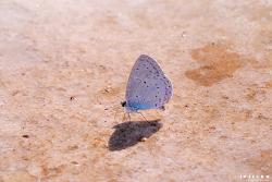 푸른부전나비