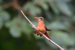 Cinnamon Hummingbird, 10cm