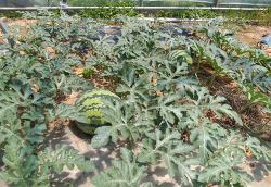 비가림하우스 수박재배(모종심기,정식,수확시기,열과현상,열과원인,웃거름,추비)