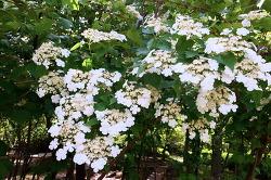 백당나무꽃