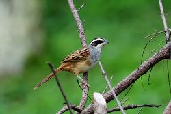 Stripe-headed Sparrow, 18cm