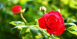한국서지연구소 뜨락의 장미