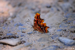 산네발나비