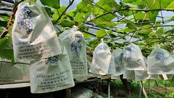 [20200716]도시 개발로 없어지는 푸른포도원의 마지막 포도 농사