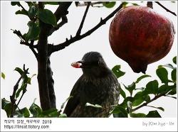 [적묘의 단상]직박구리 폴더,겨울 기념 오픈,석류는 몸에 양보하세요,버드와치,bird-watch
