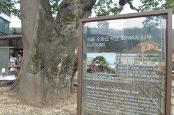 [20190915]안양 삼막마을 500년 할아버지 느티나무