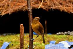Vogelkop Bowerbird, 25cm [Endemic]