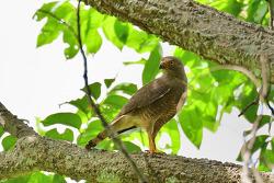 Roadside Hawk, 38cm