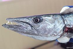 공포의 포식자 바라쿠다를 낚다(인도네시아 술라웨시섬 마나도 지깅낚시)