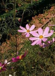 민화 참고 꽃사진 코스모스