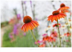 [7월 여름꽃] 에키네시아(자주루드베키아.자주천인국) - 허브