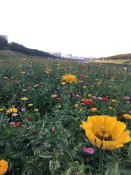 안양천의 꽃밭