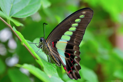 청띠제비나비