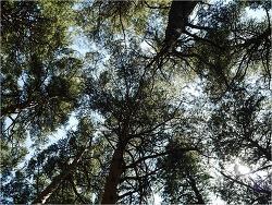 200704 - 대관령 소나무 숲 ③