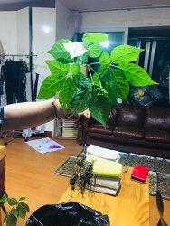 산삼감정 의뢰들어온삼 산원초