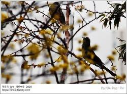 [적묘의 일상]직박구리,산수유,봄비,이시국 취미생활,새관찰,BIRD WATCHING