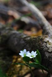 [캐논 백마엘] 숲개별꽃