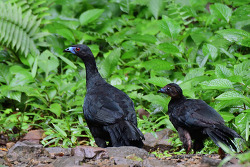 Blcak Guan, 61cm [Endemic to CR and western Panama]