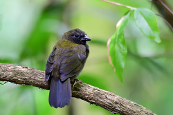Thick-billed Seed-Finch, 12cm