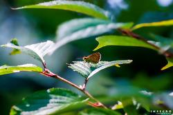 수풀꼬마팔랑나비