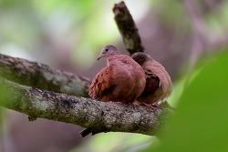 Ruddy Ground-Dove, 18cm