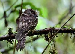 Mountain Owlet-nightjar, 18-20cm [Endemic]