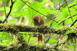Red-faced Spinetail, 15cm