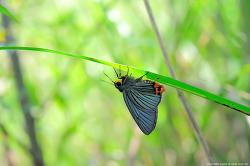 푸른큰수리팔랑나비