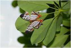 돌담무늬나비