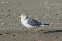 작은재갈매기 [Iceland Gull]
