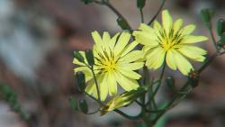 씀바귀 꽃